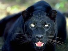http://alins.ru/images/land_predators/pantera/1.jpg