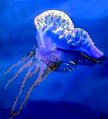 физалия фото медуза